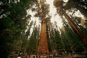 picture of sequoia-trees  - General Sherman Tree in Sequoia National Park - JPG