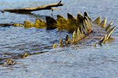 foto of crocodile  - Tail of a crocodile in the water - JPG