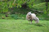 stock photo of spring lambs  - Mother sheep with her cute lamb on pasture - JPG