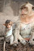 picture of baby-monkey  - Monkey mother and her baby sitting on a floor Pagoda - JPG