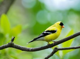 picture of goldfinches  - The American goldfinch - JPG