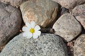 pic of rude  - White cosmos flower lying on rude stones - JPG