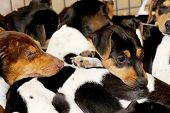 foto of jack russell terrier  - a group of young Jack Russel Terrier - JPG
