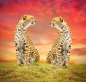 picture of cheetah  - The Cheetah  - JPG