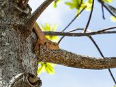picture of chameleon  - Chameleon on the tree in nature of Thailand - JPG
