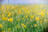 stock photo of buttercup  - Meadow is full of spring flowers  - JPG