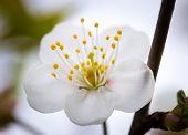 picture of tree-flower  - Beautiful white flowers of cherry tree - JPG