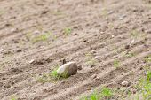 pic of plowed field  - Cultivated field with rocks - JPG