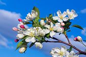 picture of blue crab  - Backed by a cloudy blue sky white flowers and red unopened buds decorate a crab apple tree in spring - JPG