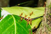 picture of ant  - Ants are helping to build a new nest - JPG