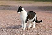 stock photo of attention  - Curious young black and white cat is standing on a yard and paying attention.
