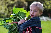 image of harvest  - One little preschool boy who have Harvest one great bunch of rhubarbs in the garden on a sunny spring day - JPG