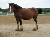 stock photo of clydesdale  - Pregnant clydesdale horse awaiting delivery of young in a corral - JPG