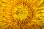 picture of extreme close-up  - bright yellow dandelion close up - JPG