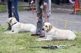 picture of seeing eye dog  - Blind people are participating with their golden retriever guide dogs during the last training for the animals. The dogs are undergoing various trainings before finally given to the physically disabled people.