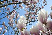 stock photo of japanese magnolia  - Magnolia tree in springtime with bright blue sky in the background - JPG