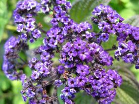 picture of heliotrope  - Abundantly flowering plant of blue heliotrope  - JPG