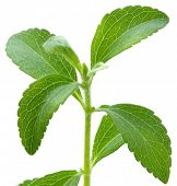 picture of substitutes  - Stevia rebaudiana - JPG