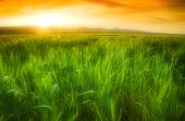 picture of gleaning  - Golden sun shining on a green wheat field in Northern California - JPG
