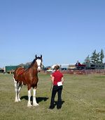 stock photo of clydesdale  - A young woman shows a Clydesdale at a fall agricultural contest - JPG