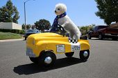 Dog in Taxi Pedal Car. A Bichon Frise dog drives her yellow Taxi Pedal Car. Driving Dog. Dog  car ri poster