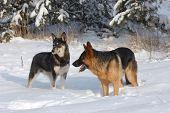 Domestic dogs play on the snow.Near Kiev,Ukraine poster