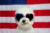 Bichon Frise Dog and American Flag. Small White Bichon Frise dog wears American Flag Glasses. 4th of poster