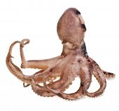 picture of devilfish  - Small octopus on white background - JPG