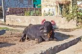 image of loam  - cow in the village resting on the loam ground - JPG