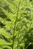 stock photo of chloroplast  - detail of a sunny illuminated fern leaf at summer time - JPG
