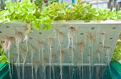picture of hydroponics  - some root of hydroponic system or soilless vegetables - JPG