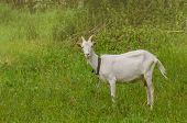 White Goat Sitting In Tall Grass. Goat Grazing In The Yard. Juicy Green Grass And Goats. Goats In Th poster