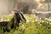 Black Goat On Grass. Black Domestic Goat. Domestic Goat Standing On The Farm Seems poster