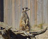 Meerkat - In Enclosure, Sitting Up, Alert poster
