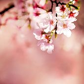 picture of orchard  - Spring Cherry blossoms in full bloom for adv or others purpose use - JPG