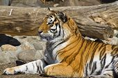 image of tigress  - Young amur tigress Panthera tigris altaica in Moscow zoo - JPG