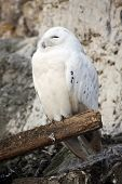 foto of hedwig  - White polar owl Hedwig in the Moscow zoo - JPG