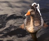Orange Billed Duck