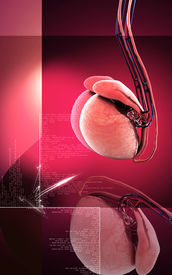 picture of testicle  - Digital illustration of  testicles in colour  background - JPG