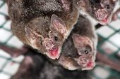 pic of bat  - Common vampire bat  - JPG