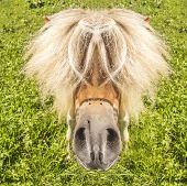 stock photo of pony  - Pony with funny hairstyle looks into the camera - JPG