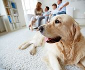 stock photo of labrador  - Portrait of cute pet lying on the floor on background of family of four having rest at home - JPG