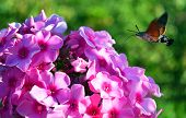 image of hornworms  - hornworm butterfly drinking nectar from of phlox