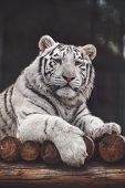 WHITE TIGE in zoo