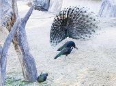 stock photo of female peacock  - peacock display of feathers to the female peacocks - JPG
