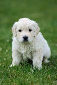 foto of swiss shepherd dog  - Baby swiss shepherd sitting on green carpet - JPG