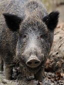picture of boar  - Wild boar in wood - JPG