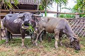 pic of carabao  - Water Buffalo in a farm with the beautiful horns - JPG