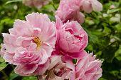 picture of english rose  - Pink floribunda roses in bloom in an English garden in July - JPG