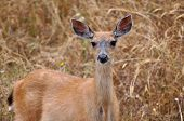 stock photo of mule deer  - A close up of a young Mule Deer with large ears - JPG